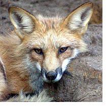 foxblog.jpg