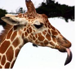 girafblog.jpg
