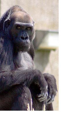 gorillablog.jpg