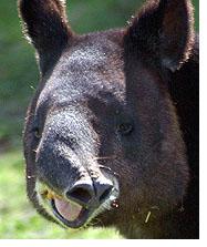 tapirblog.jpg