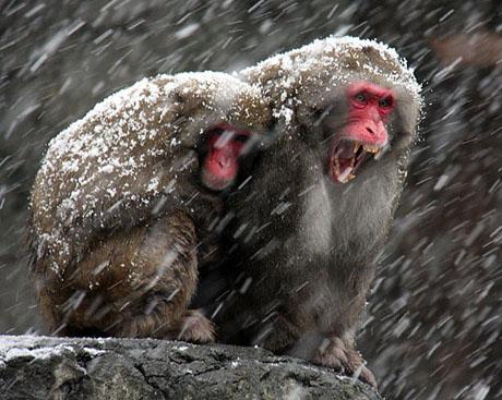 snowsnowmonkeys