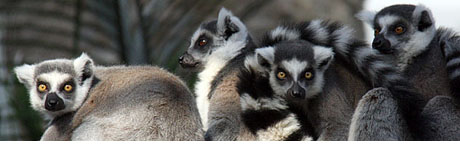 lemurhuddle
