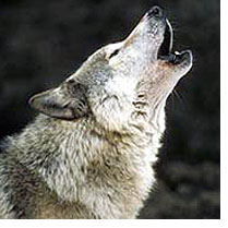wolfhowl