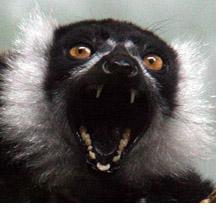 lemurhowl2