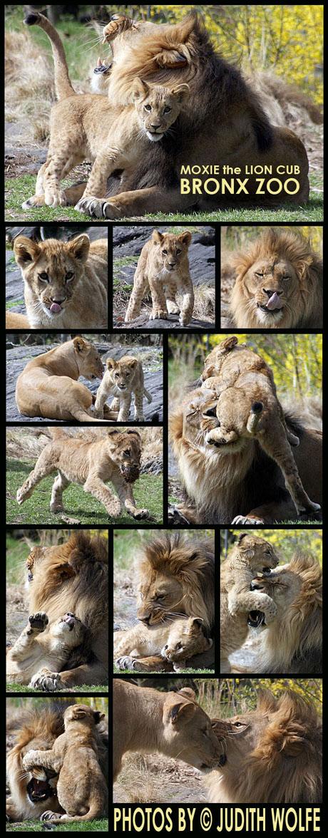 lioncubblog