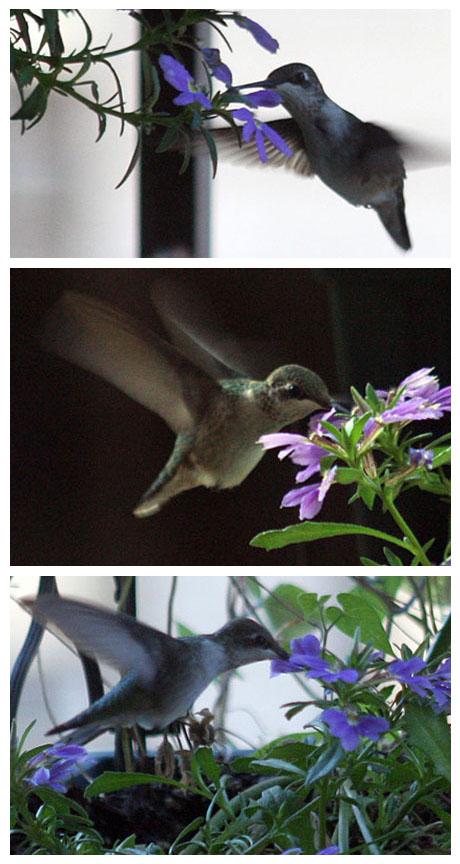 hummingbirdss